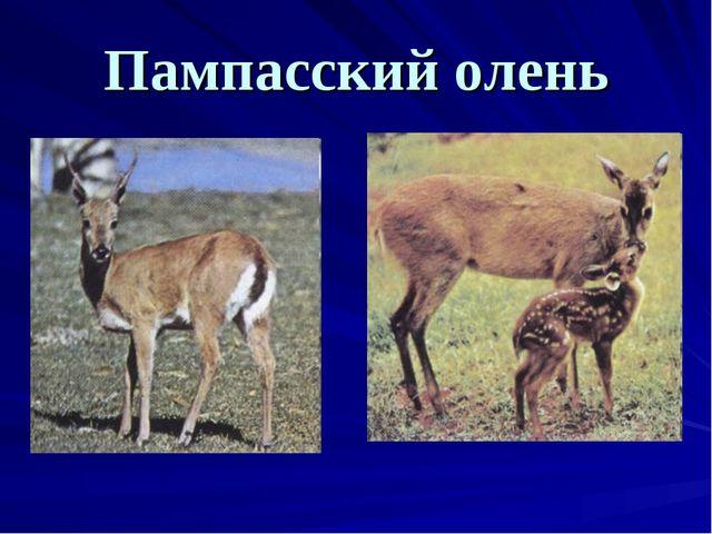 Пампасский олень