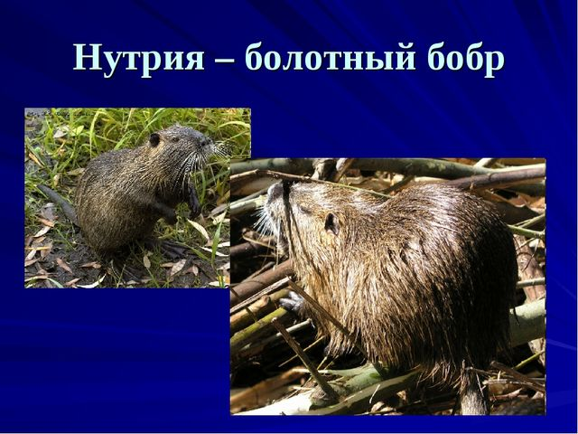 Нутрия – болотный бобр
