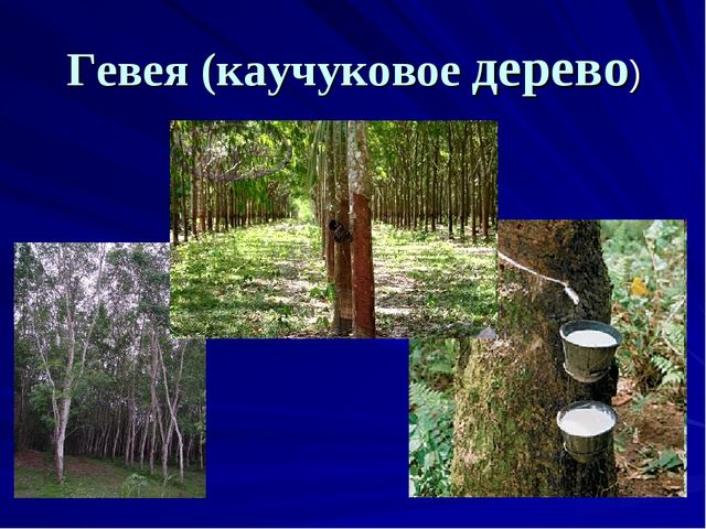 Гевея (каучуковое дерево)