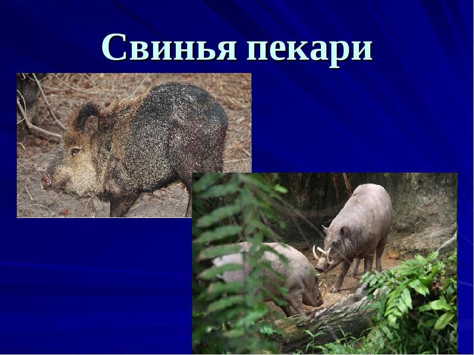 Свинья пекари