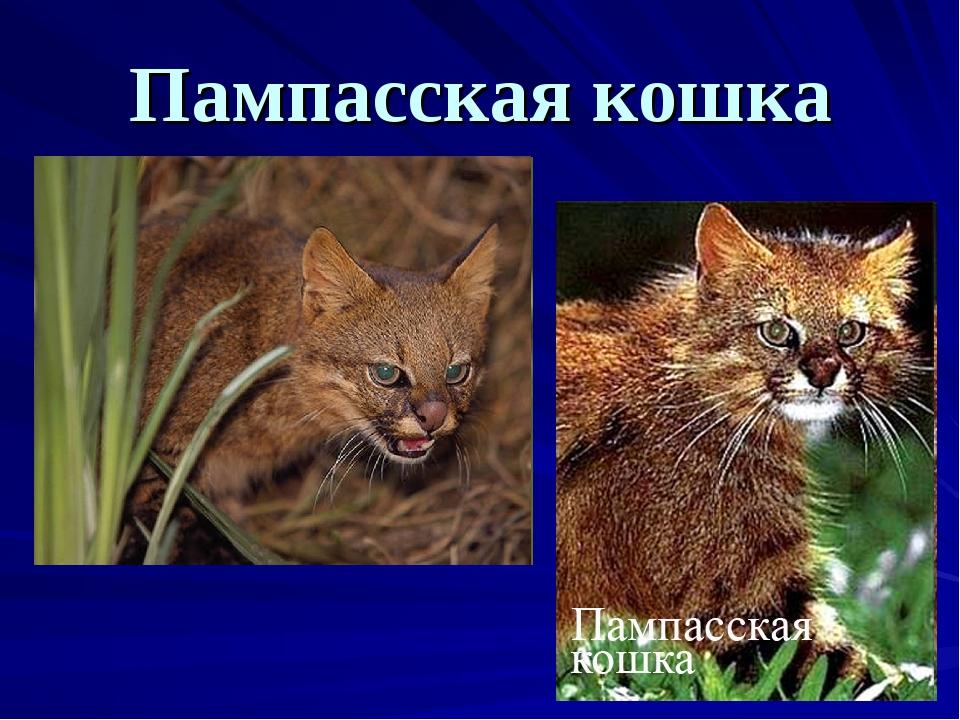 Пампасская кошка