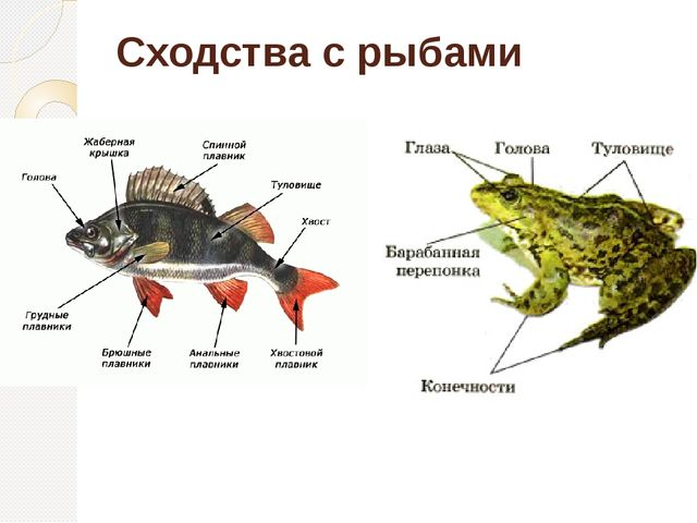 Сходства с рыбами
