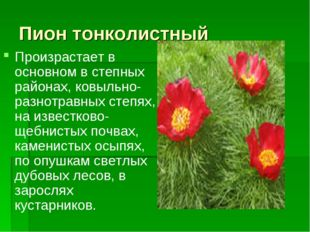 Пион тонколистный Произрастает в основном в степных районах, ковыльно-разнотр