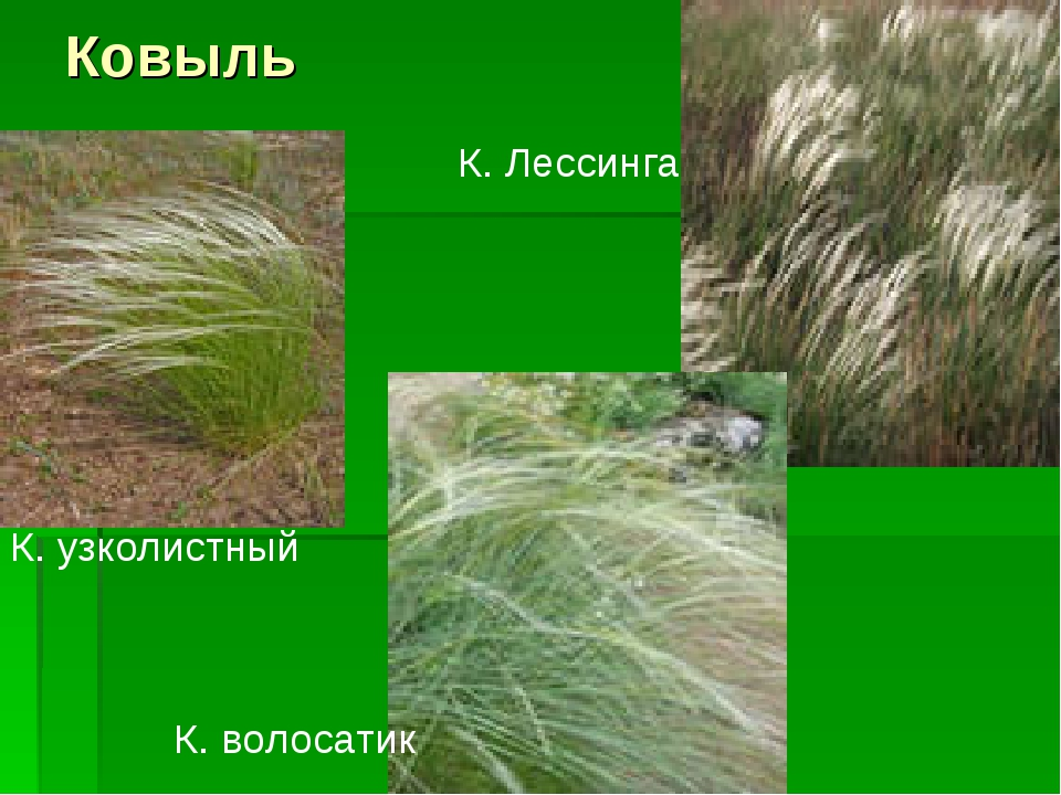 Ковыль К. узколистный К. волосатик К. Лессинга