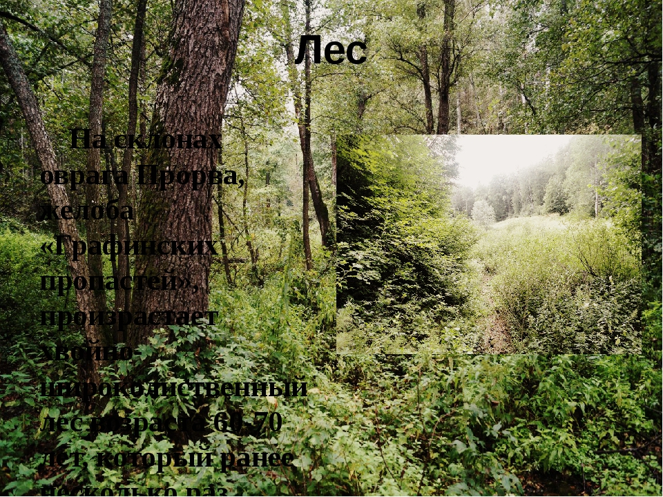 Лес На склонах оврага Прорва, желоба «Графинских пропастей», произрастает хво...