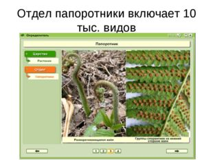 Отдел папоротники включает 10 тыс. видов