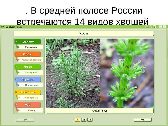 . В средней полосе России встречаются 14 видов хвощей