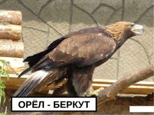 ОРЁЛ - БЕРКУТ