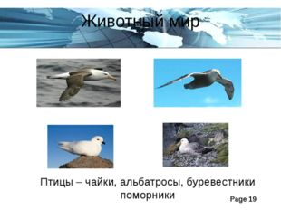 Животный мир Птицы – чайки, альбатросы, буревестники поморники Page