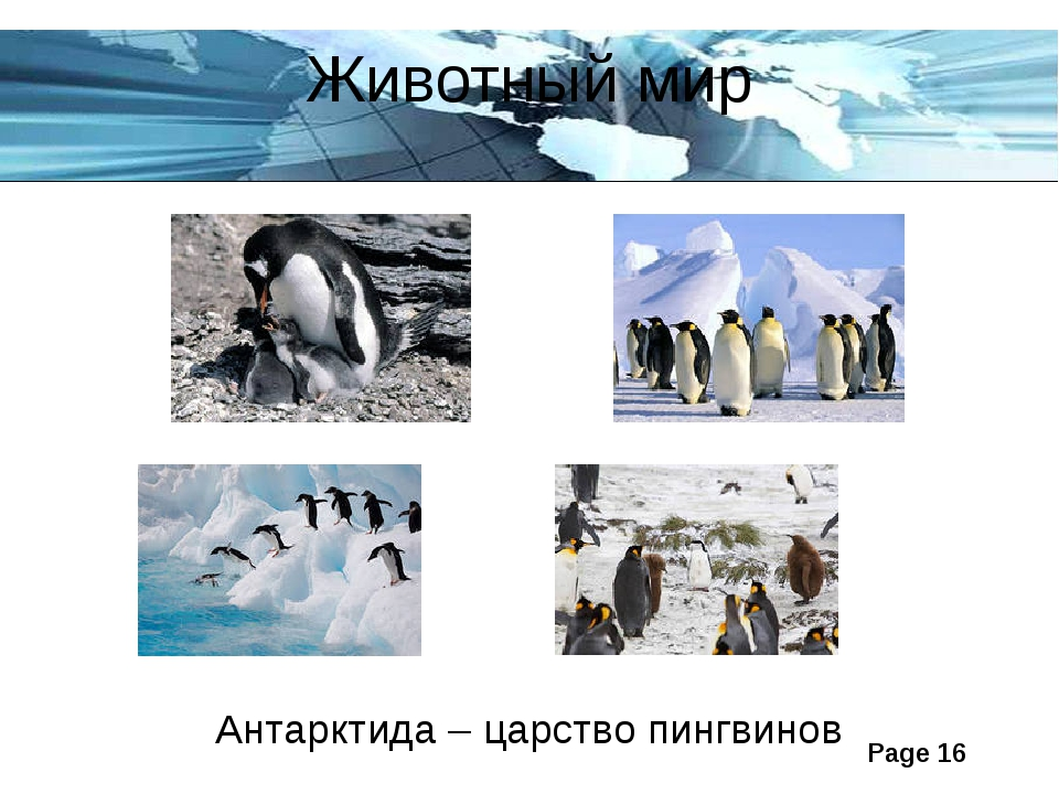 Животный мир Антарктида – царство пингвинов Page