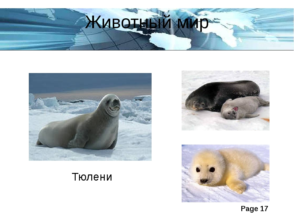 Животный мир Тюлени Page