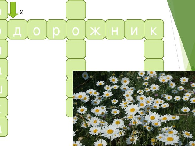 р о м а ш к а п д о р о ж н и к 2 2. Бело-желтые цветки, Для гаданий лепестки...