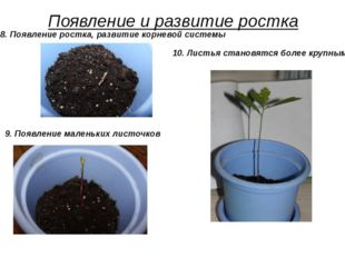 Появление и развитие ростка 9. Появление маленьких листочков 10. Листья стано