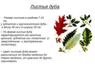 Размер листьев в среднем 7-15 см, у зубчатого и крупнолистного дуба - в длин