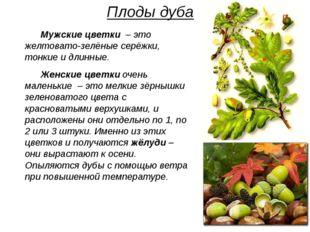 Плоды дуба Мужские цветки – это желтовато-зелёные серёжки, тонкие и длинные.