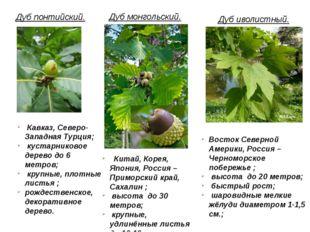 Дуб понтийский. Кавказ, Северо-Западная Турция; кустарниковое дерево до 6 мет