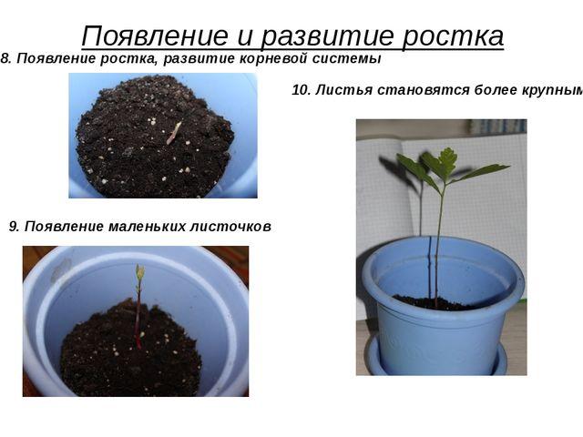 Появление и развитие ростка 9. Появление маленьких листочков 10. Листья стано...