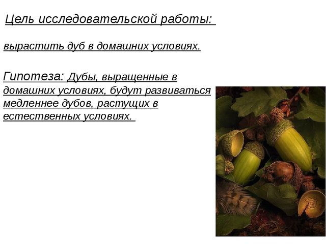 Цель исследовательской работы: вырастить дуб в домашних условиях. Гипотеза:...