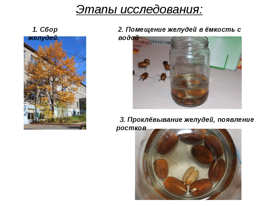 Этапы исследования: 2. Помещение желудей в ёмкость с водой 1. Сбор желудей. 3...