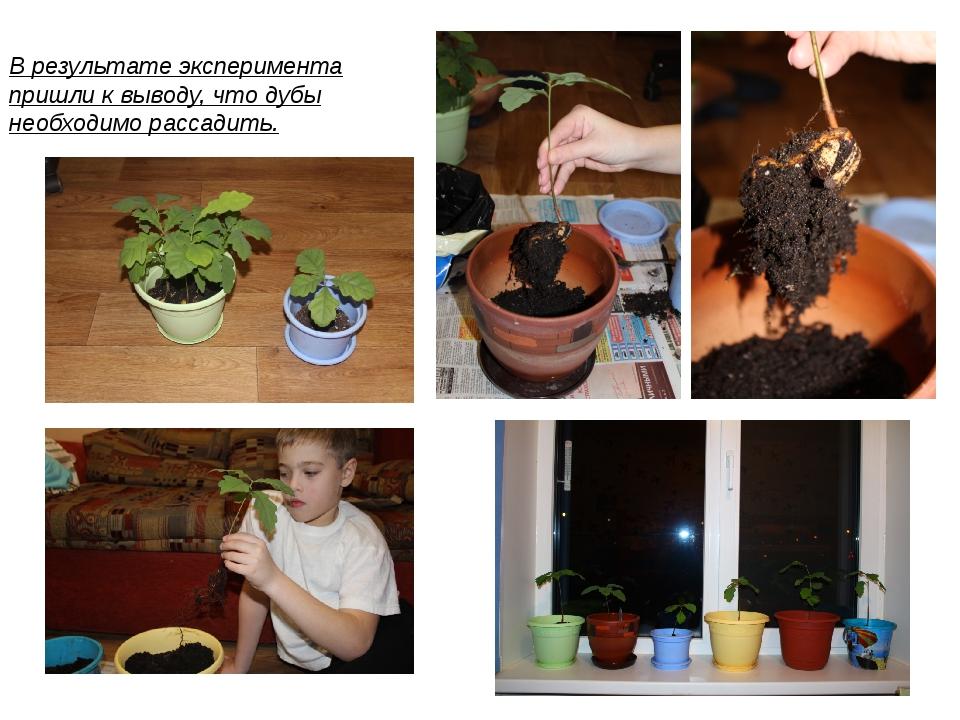 В результате эксперимента пришли к выводу, что дубы необходимо рассадить.