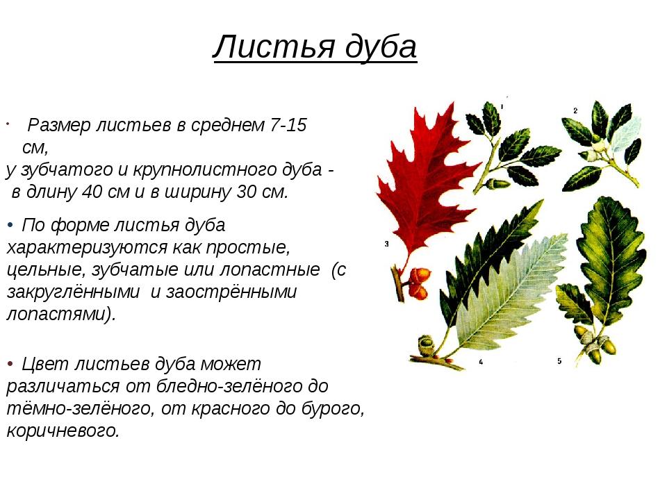 Размер листьев в среднем 7-15 см, у зубчатого и крупнолистного дуба - в длин...