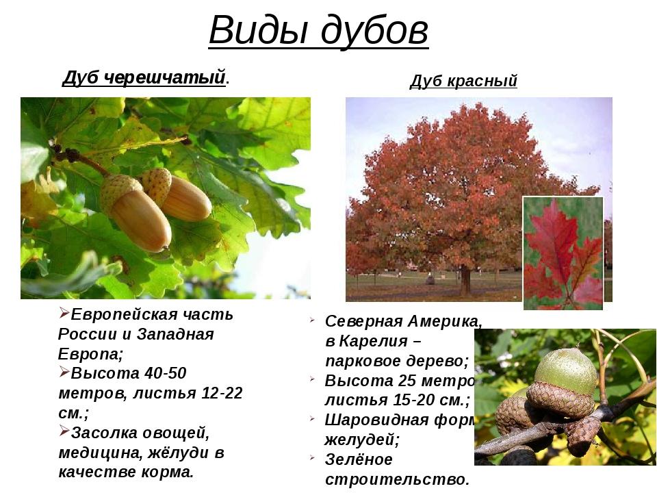 Виды дубов Европейская часть России и Западная Европа; Высота 40-50 метров, л...