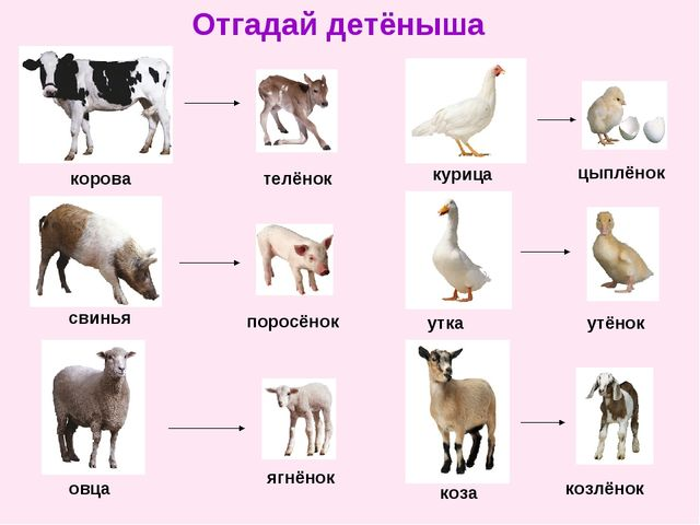 Отгадай детёныша корова телёнок свинья поросёнок овца ягнёнок курица цыплёнок...