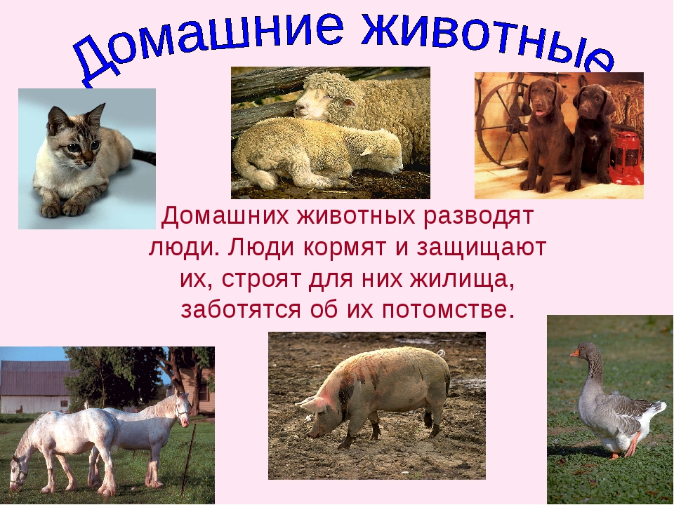 Домашних животных разводят люди. Люди кормят и защищают их, строят для них жи...