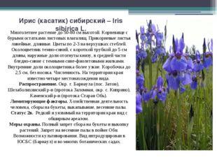 Ирис (касатик) сибирский – Iris sibirica L. Многолетнее растение до 50-80 см