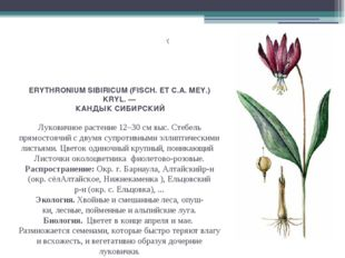 ERYTHRONIUM SIBIRICUM (FISCH. ET С.А. MEY.) KRYL. — КАНДЫК СИБИРСКИЙ Луковичн