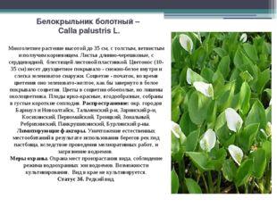 Белокрыльник болотный – Calla palustris L. Многолетнее растение высотой до 35