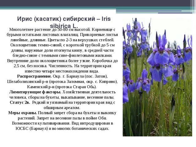 Ирис (касатик) сибирский – Iris sibirica L. Многолетнее растение до 50-80 см...