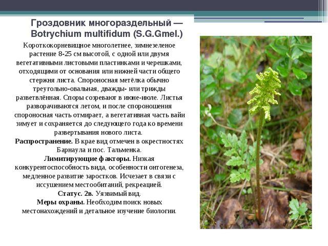 Гроздовник многораздельный — Botrychium multifidum (S.G.Gmel.) Короткокорневи...