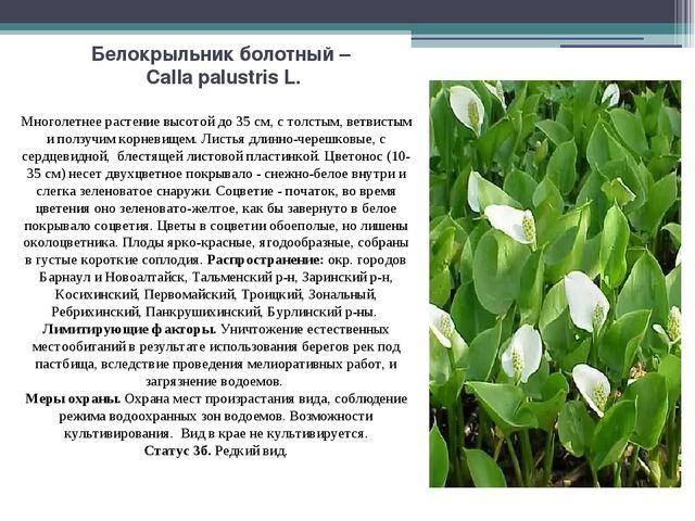 Белокрыльник болотный – Calla palustris L. Многолетнее растение высотой до 35...
