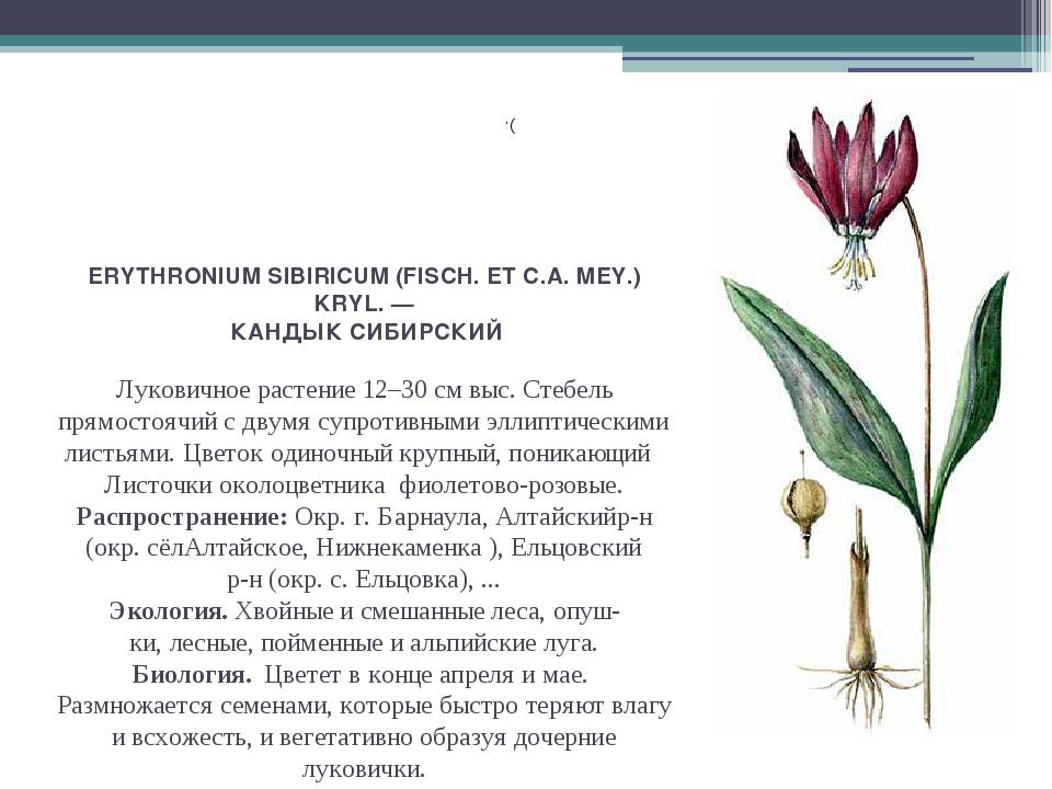 ERYTHRONIUM SIBIRICUM (FISCH. ET С.А. MEY.) KRYL. — КАНДЫК СИБИРСКИЙ Луковичн...