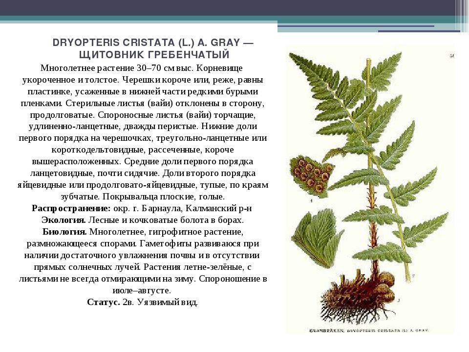 DRYOPTERIS CRISTATA (L.) A. GRAY — ЩИТОВНИК ГРЕБЕНЧАТЫЙ Многолетнее растение...