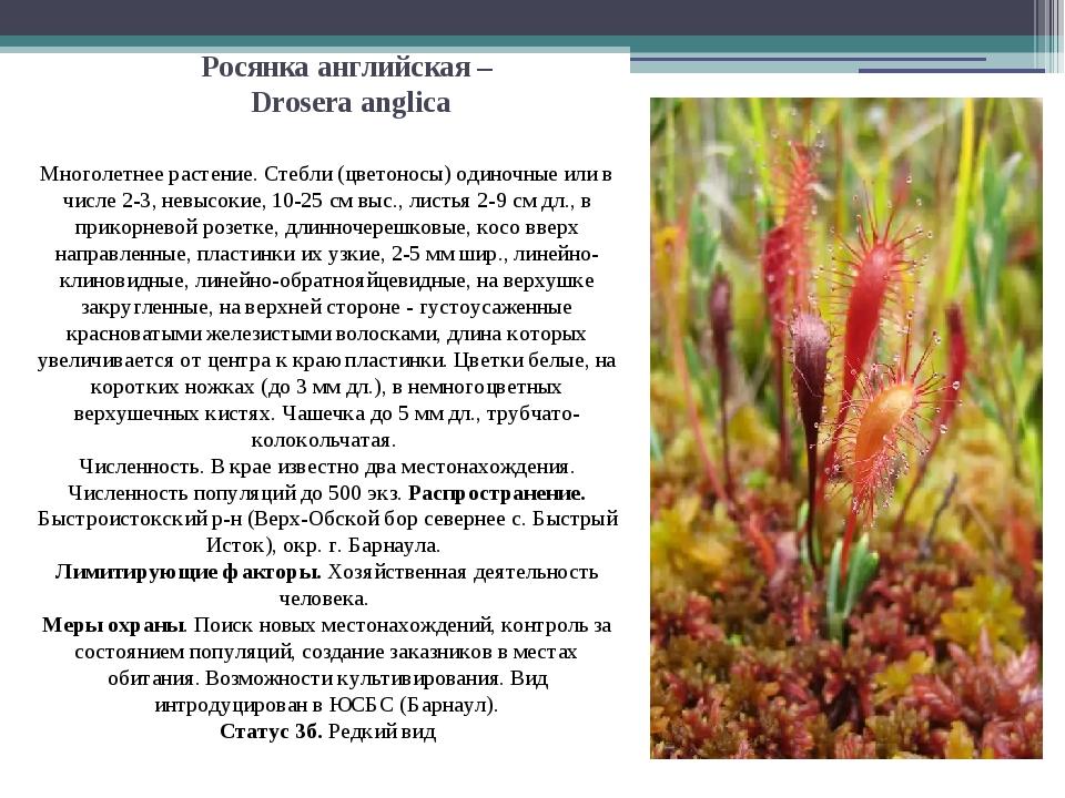 Росянка английская – Drosera anglica Многолетнее растение. Стебли (цветоносы)...