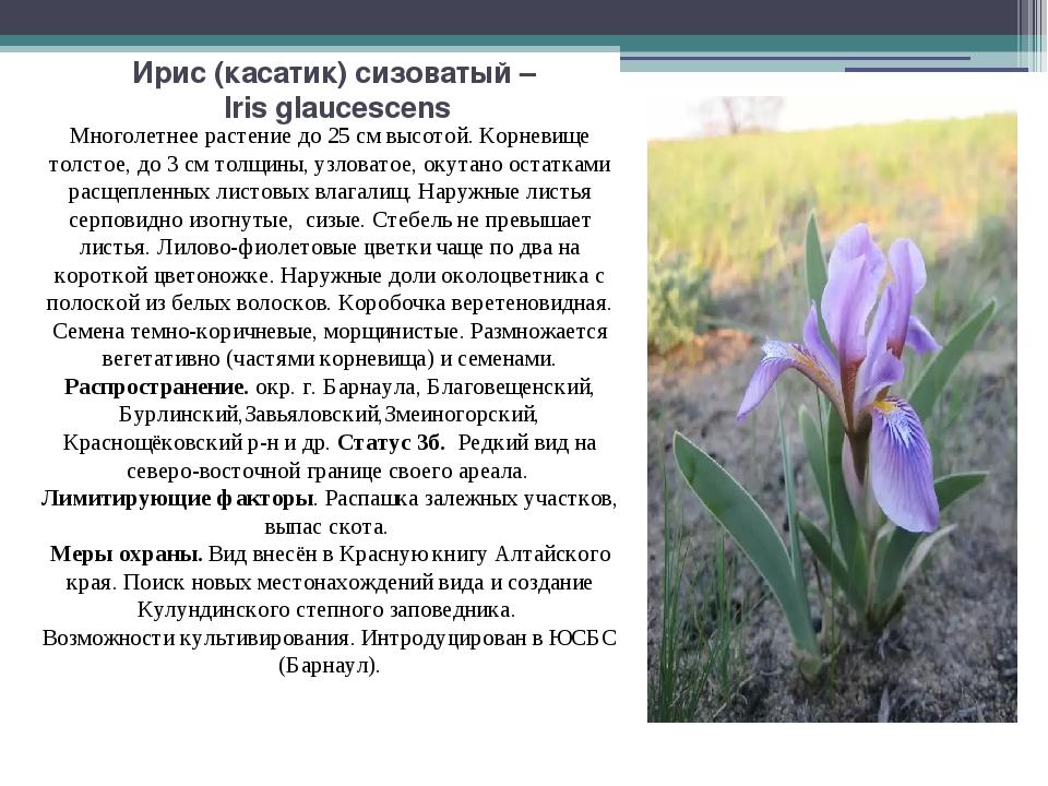 Ирис (касатик) сизоватый – Iris glaucescens Многолетнее растение до 25 см выс...