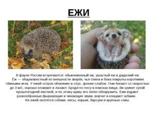 ЕЖИ Вфауне России встречаются: обыкновенный еж, ушастый ежидаурский еж. Ё