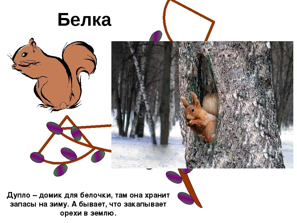 Белка Дупло – домик для белочки, там она хранит запасы на зиму. А бывает, что...
