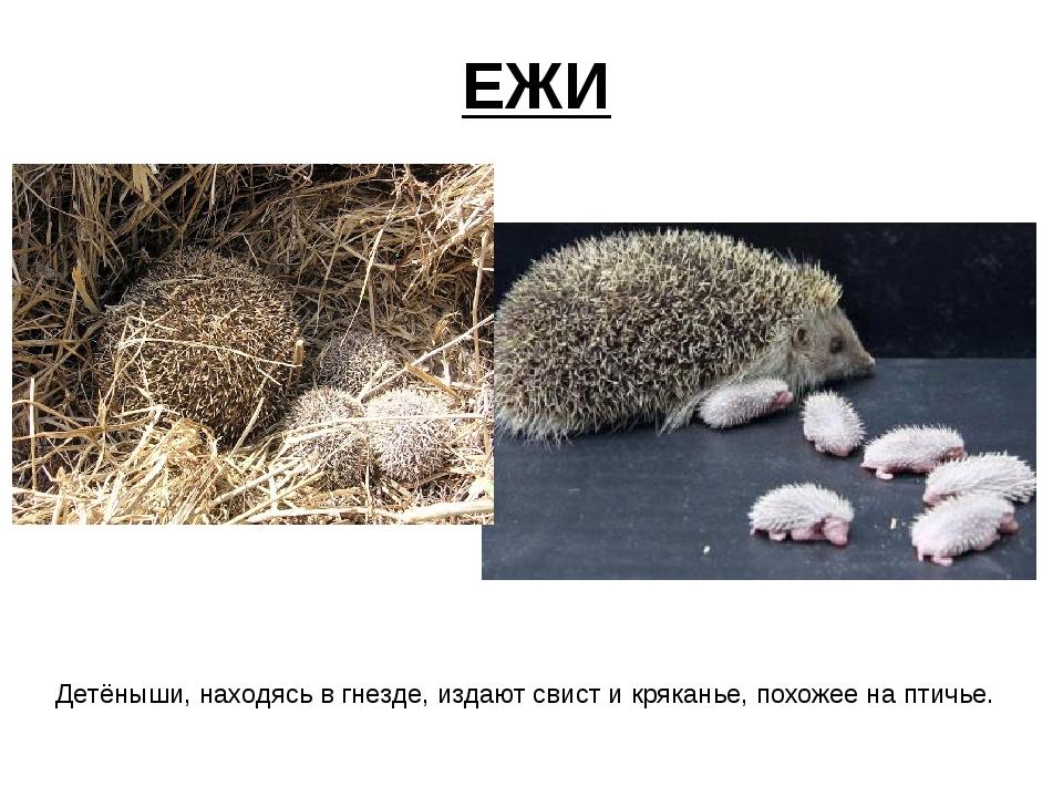 ЕЖИ Детёныши, находясь в гнезде, издают свист и кряканье, похожее на птичье.