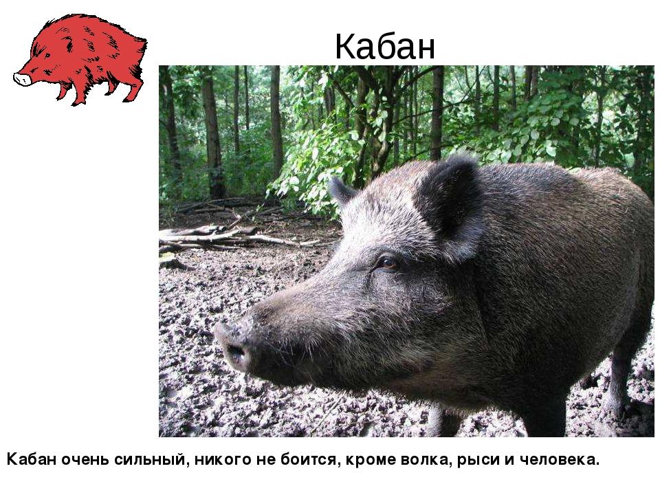Кабан Кабан очень сильный, никого не боится, кроме волка, рыси и человека.
