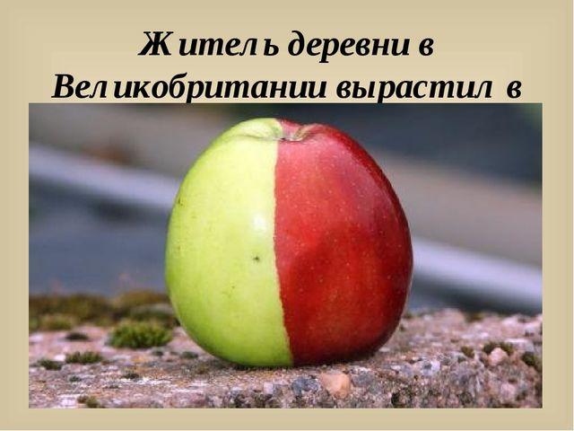 Житель деревни в Великобритании вырастил в своём саду необычное яблоко.