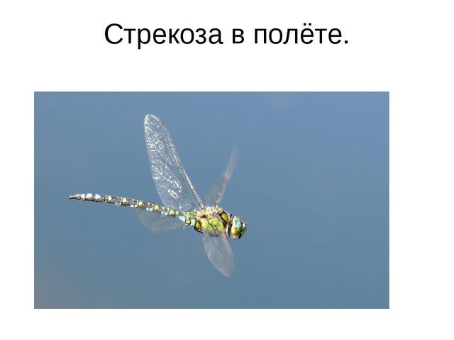 Стрекоза в полёте.
