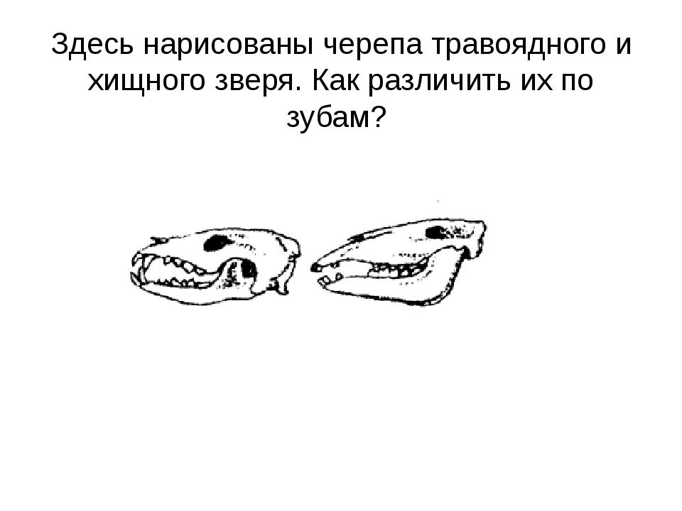 Здесь нарисованы черепа травоядного и хищного зверя. Как различить их по зубам?