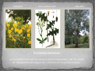 Компасные растения располагают свои листья плоскостью по меридиану, так что г