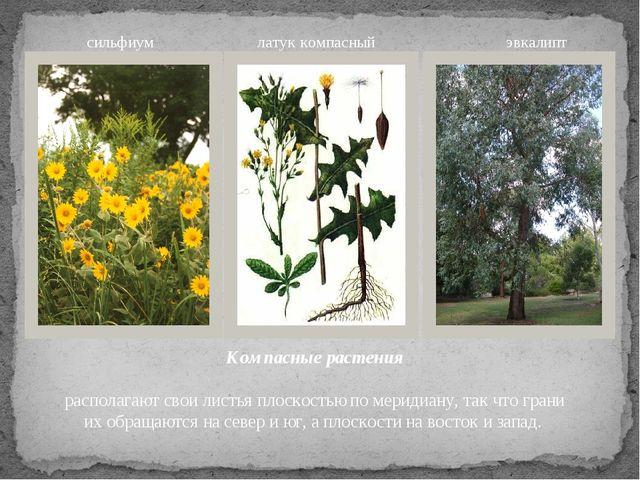 Компасные растения располагают свои листья плоскостью по меридиану, так что г...