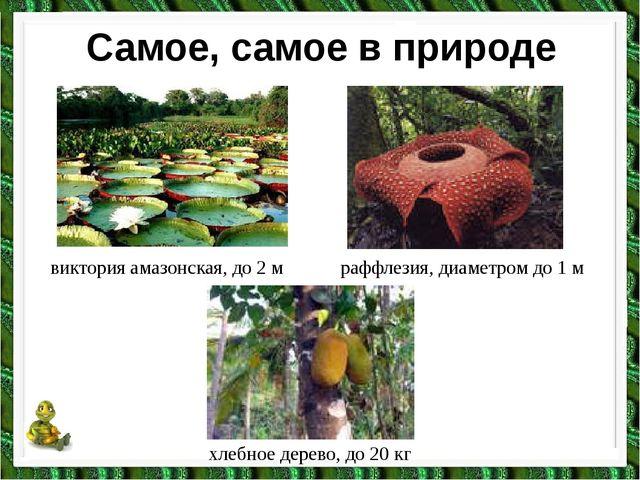 Самое, самое в природе виктория амазонская, до 2 м раффлезия, диаметром до 1...