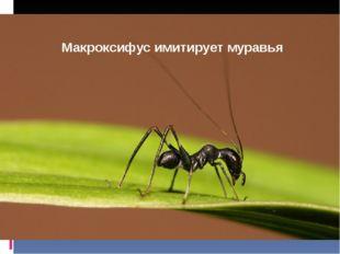 Макроксифус имитирует муравья
