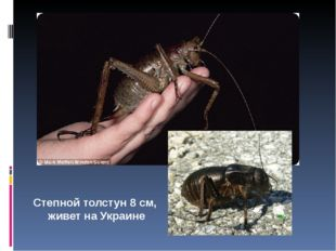 Степной толстун 8 см, живет на Украине